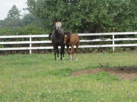 A mare and her filly in the pasture