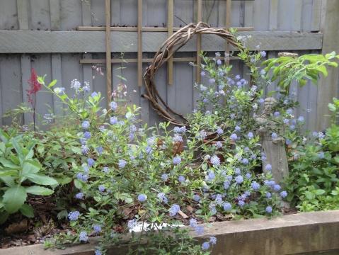Hidden behind the California lilac