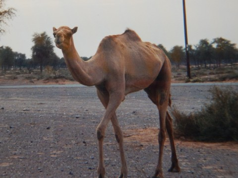 and she fell in love with the camels, especially Ali Baba
