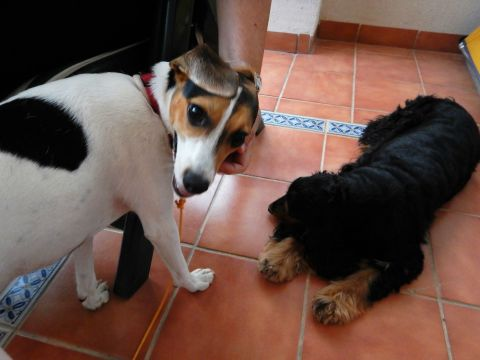 A play date with Havane, a Spaniel from France