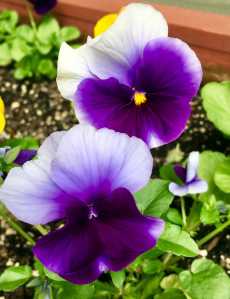 pansy, blogging, getting to know you